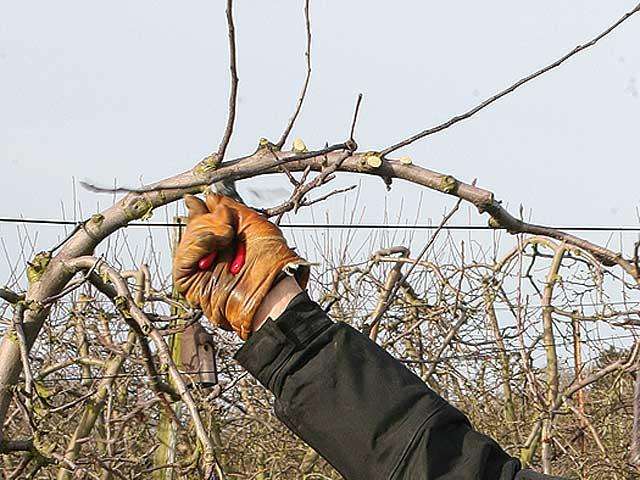 Tailler les arbres fruits noyau jardin fruitier - Comment tailler les arbres fruitiers ...