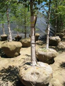 Plantation des arbres fruitiers en motte ou conditionn s - Plantation arbre en motte ...