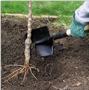 Plantation des arbres fruitiers en racines nues jardin - Plantation d un fruitier ...