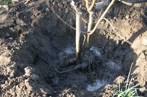 planter-arbre-fruitier