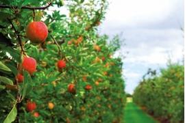 arbre-fruitier
