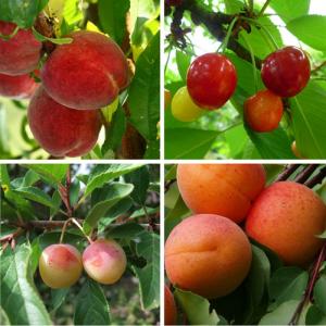 arbres fruitiers de jardin