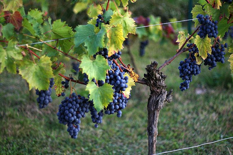 vignes à raisins