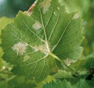 maladie-vigne